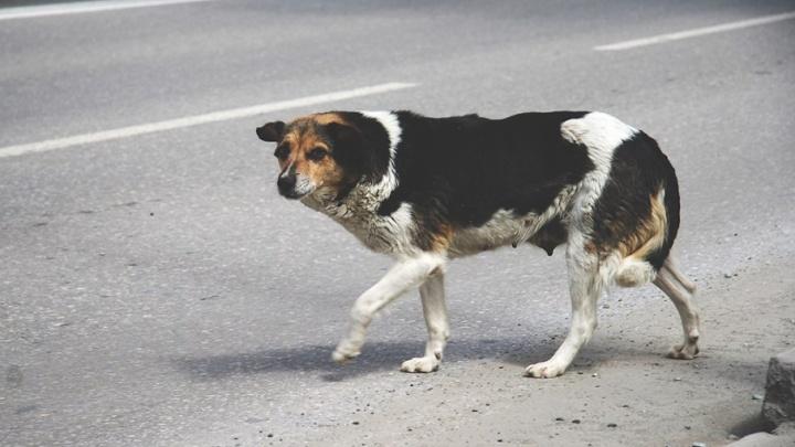 За неделю бродячих животных отловят на 100 улицах Тюмени