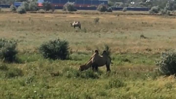 Двугорбые верблюды пасутся на полях в Ростовской области