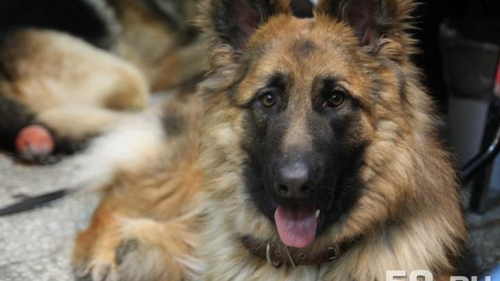 В Перми служебная собака Земляничка задержала перевозившего наркотики пассажира поезда