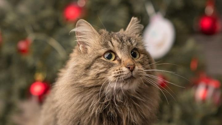 Красавчик Беляш и нежная Тесса: пермский приют провел умилительную фотосессию новогодних котиков