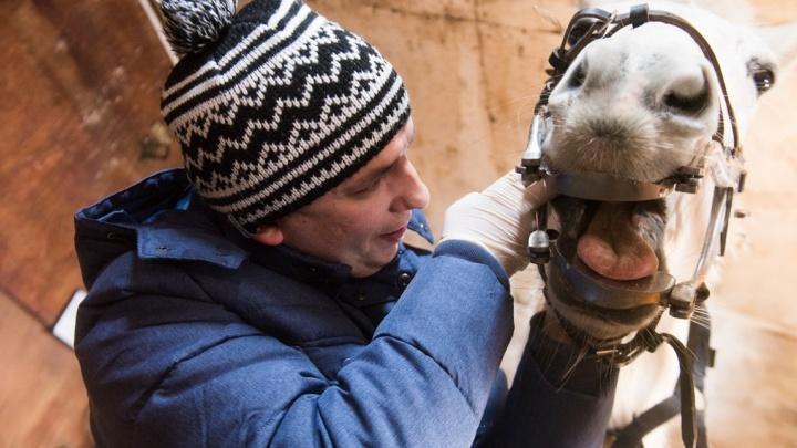Конный стоматолог: ветеринар из Екатеринбурга научился ставить пломбы лошадям