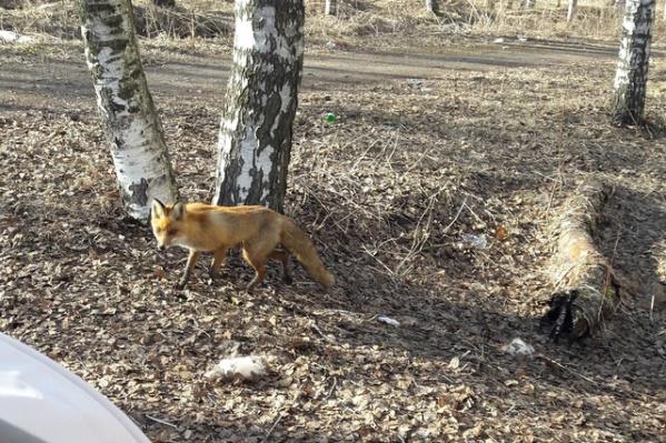 Дикая лисица бегает в парке на проспекте Фрунзе