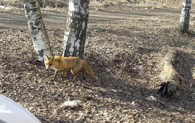 В городской парк в Ярославле забежала дикая лисица: фото