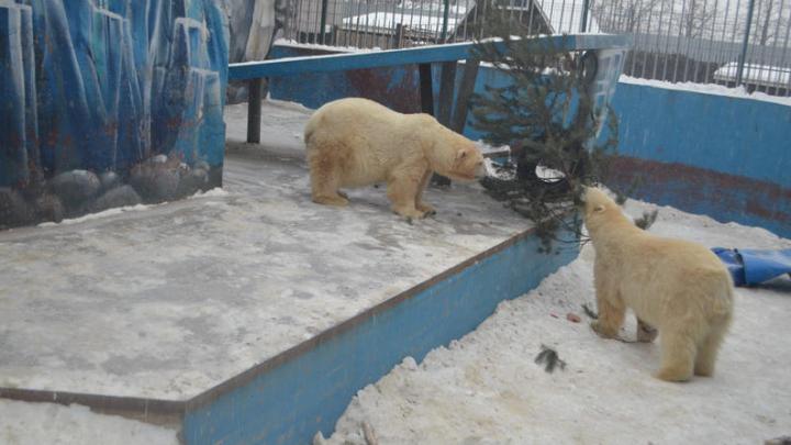 В пермском зоопарке белые медведи Милка и Сэрику отметили первый юбилей