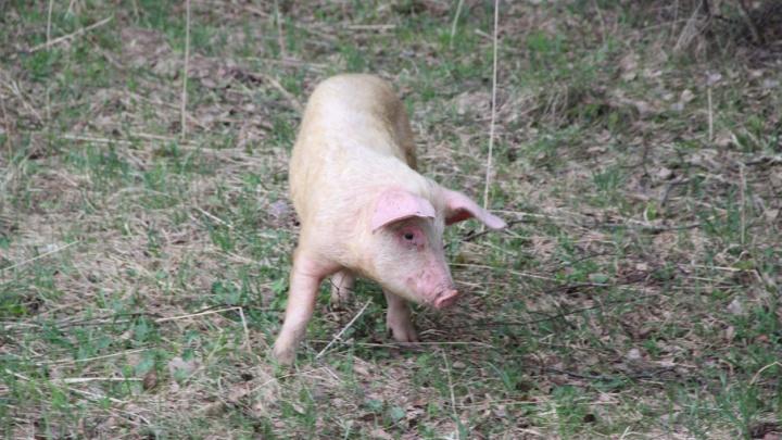 Ярославец продал в Поморье свиней с африканской чумой