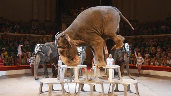 «Шоу слонов»: на каком языке говорят с животными и сколько лет великанам