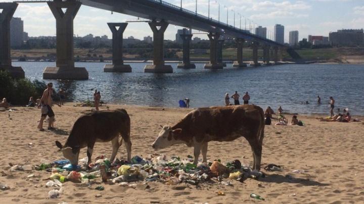 Уборкой пляжа на Бобрах вместо чиновников занялись коровы