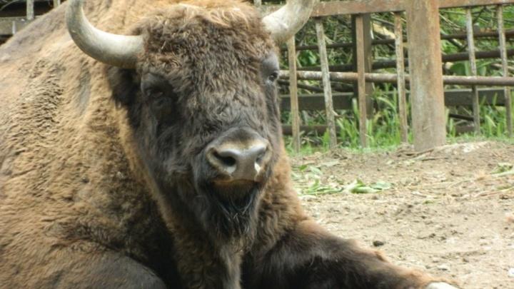 В Ростовском зоопарке от удара электричеством погиб черный як