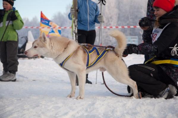 Очередные бега на собачьих упряжках пройдут в «Саломатах» 13 января