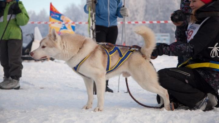 Спортсмены и собаки протестировали новую лыжную базу «Саломаты» в Приморском районе