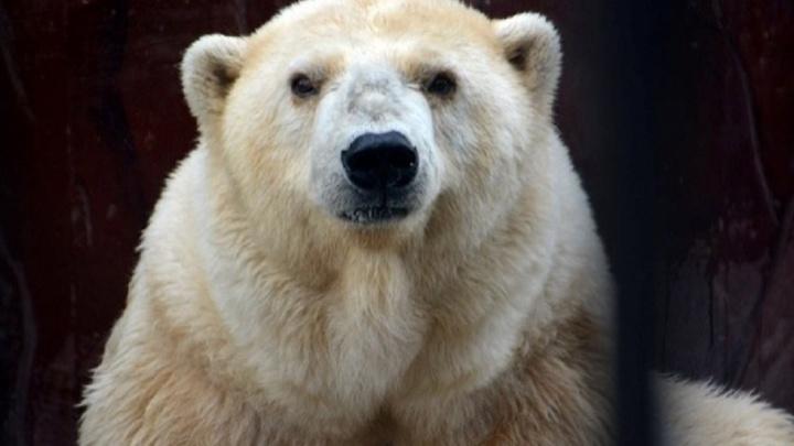 «Спи покойно, Амдерма»: в пермском зоопарке умерла старейшая в России белая медведица