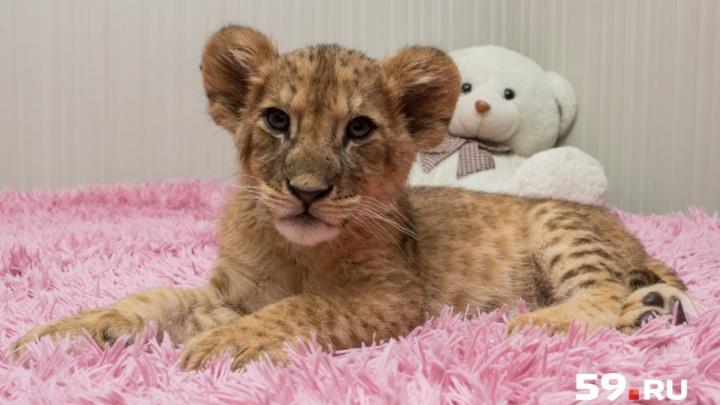 Как приручить царя зверей: 20-летняя пермячка живет в одной квартире со львом Симбой