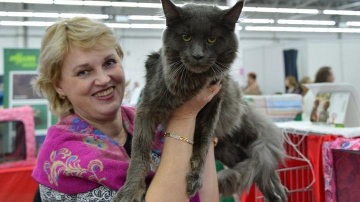 Теплые коты: самые красивые породы на выставке кошек на Пермской ярмарке