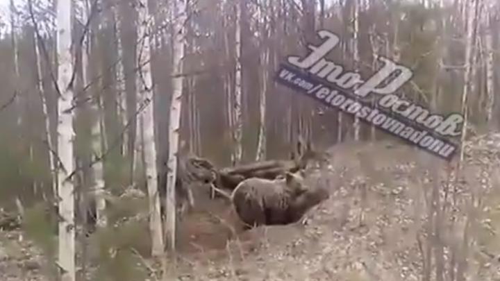 В ростовских соцсетях появилось видео медведя, роющего себе берлогу