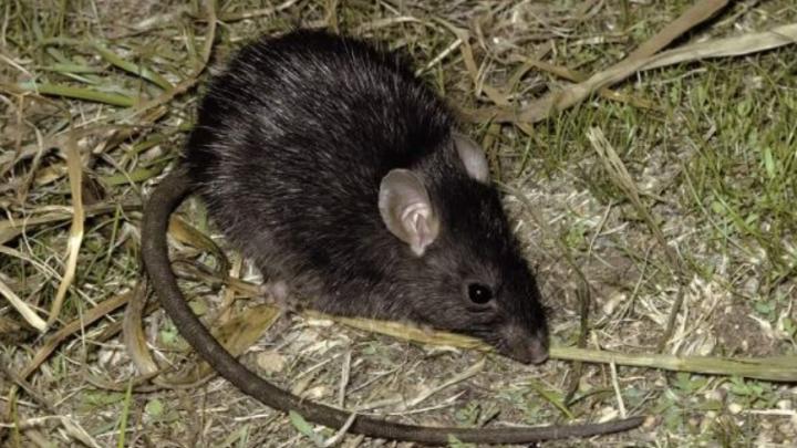 Врачи из Мясниковского района опровергли историю о ребенке, на которого якобы напали крысы