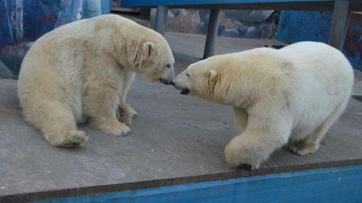 «Это аномалия»: биолог ПГНИУ объяснил поведение медведицы, убившей детеныша в пермском зоопарке