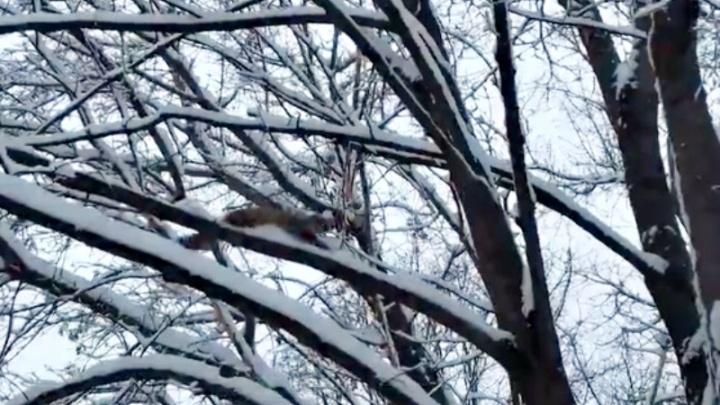 «Зверёк скакал с дерева на дерево, как обезьянка»: по улицам Самары разгуливал лесной хорек