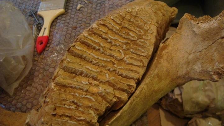 На пермской эспланаде покажут кости трогонтериевого слона