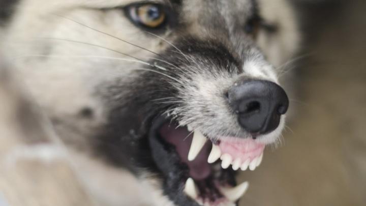 На Суворовском бойцовский пес напал на семью с маленькими детьми