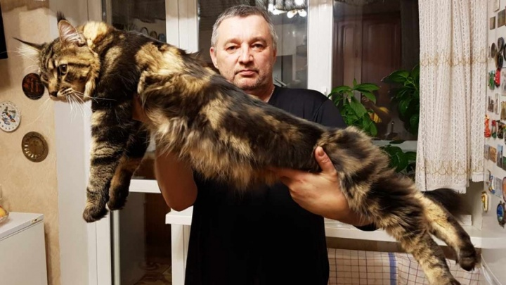 Кот-великан Азар поселился в квартире тюменцев: сколько ест 9-килограммовый мейн-кун и почему ему нельзя рыбу