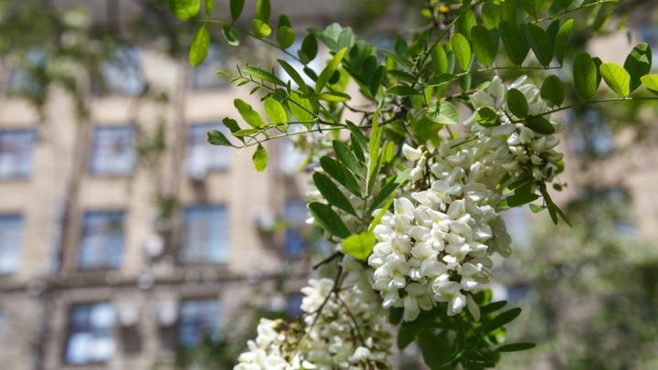 В Волгограде цветет и пахнет акация