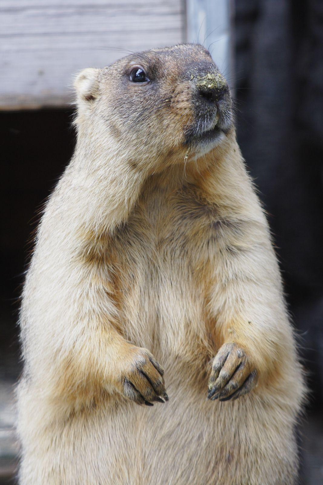 Сурок Гектор. Фото Ленинградского зоопарка