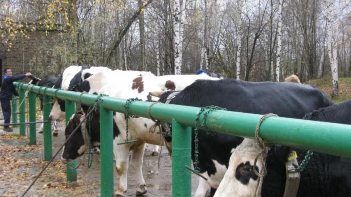 В Ярославской области начали разводить быков без рогов