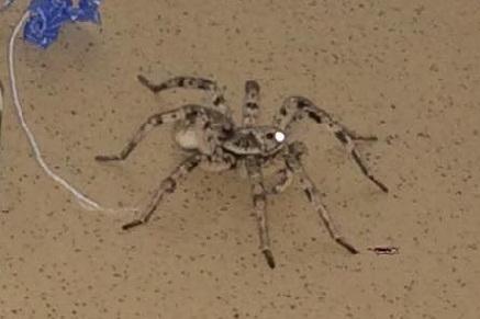 В подъезд высотки в центре Волгограда заполз ядовитый тарантул