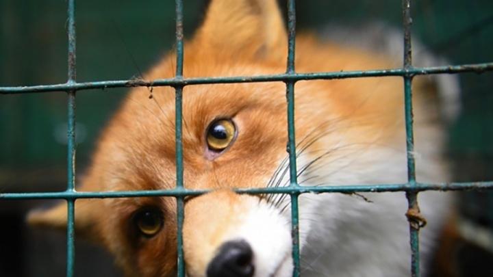 На Дону бешеные лисы покусали домашних собак