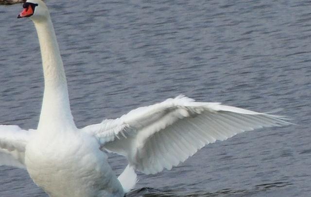 Лебеди, прилетевшие в Челябинск с зимовки, сменили водоём из-за стройки