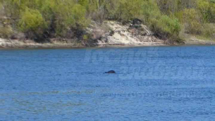 В реку Дон из Черного моря заплыли несколько дельфинов