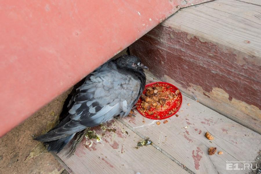 На крылечке добрые музейщики выхаживают голубя.