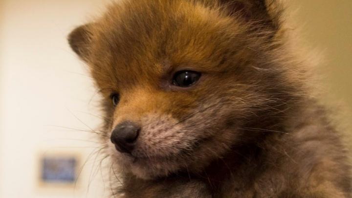 Жители Самары смогут погладить новорожденных лисят, зайчиков и бобренка