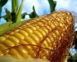 На Дону увеличат посевные площади под кукурузу