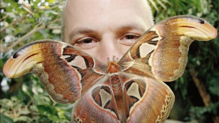 «Её можно принять за птицу»: в Ростове из кокона вылупилась самая большая в мире бабочка