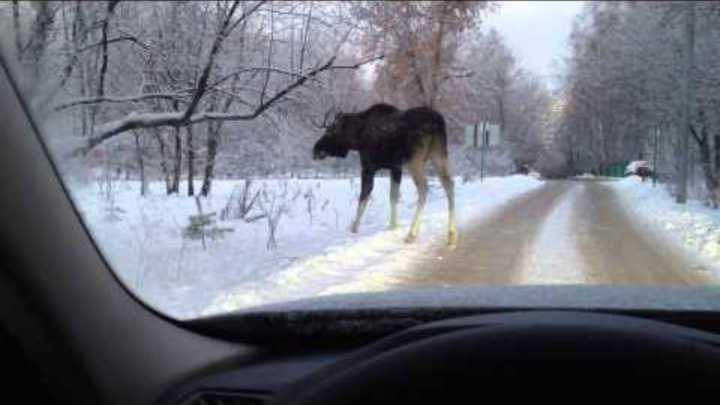 В Некрасовском районе водителю пришлось маневрировать между лосями