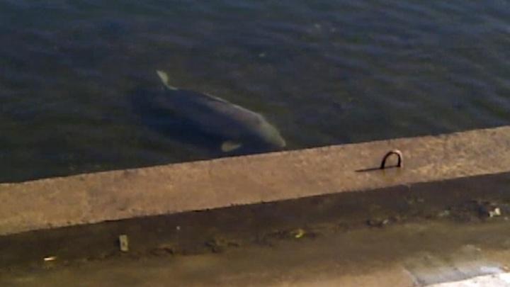 Жители Самары заметили в пруду в парке металлургов огромную рыбу