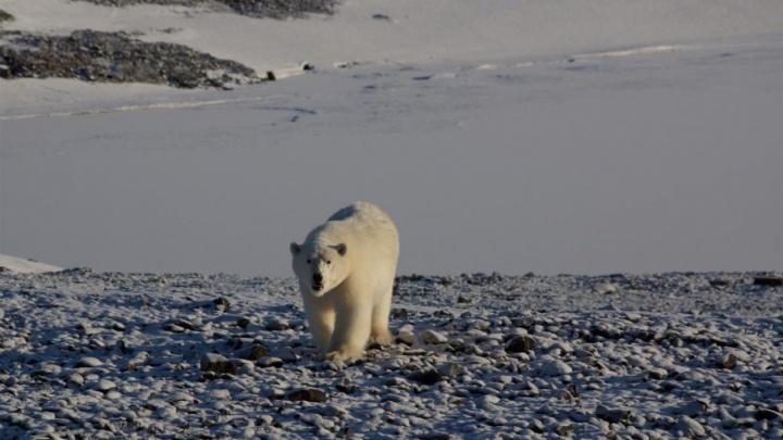 В нацпарке «Русская Арктика» белые медведи начали выходить к людям