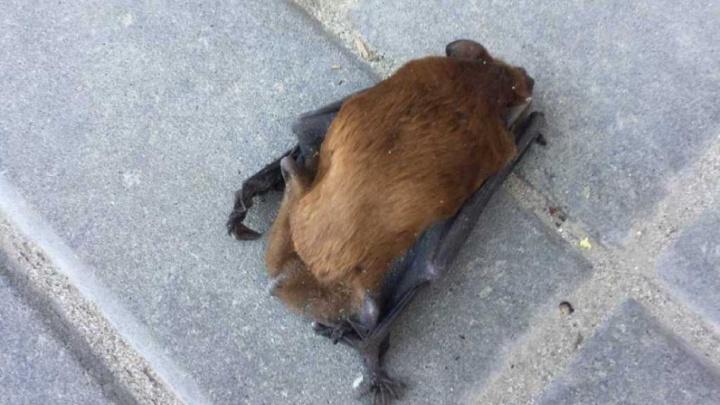 «Теперь ты Бэтмен»: ростовчанина в центре города укусила летучая мышь