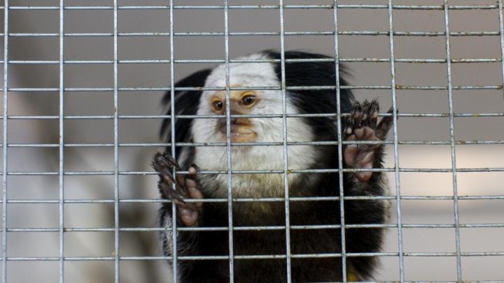 Тюменские мини-обезьянки – игрунки Жоффруа – переехали жить в Рязань