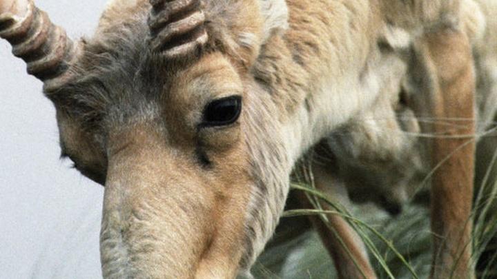 В Волгограде задержан перекупщик браконьерских рогов сайгака