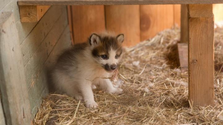 В ростовском зоопарке на свет появились 13 лисят