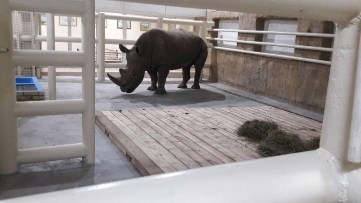 Белых носорогов привезли в Ростов: первые кадры