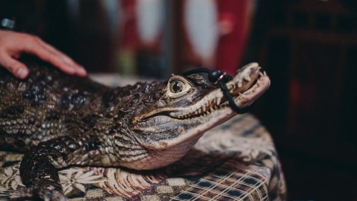 Тюменец завел себе крокодила: Рокки родился в России, ест два раза в месяц и проживет 100 лет
