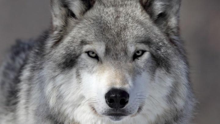 В поселке Зеленый бор волк загрыз собаку под окнами одного из домов