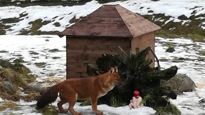 В ярославском зоопарке волчице подарили торт