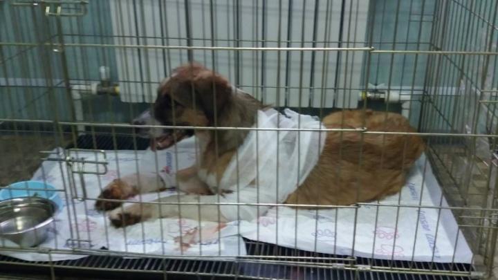 В Волгограде спасают собаку с 47 дробинами в животе
