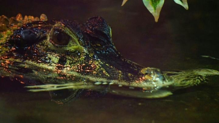 В зоомагазине Северодвинска продавали крокодила без документов и просроченные лекарства