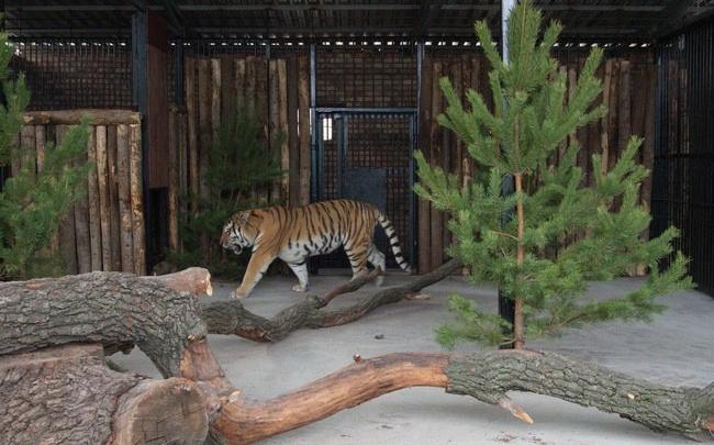 «Кактус был ошарашен»: пара самарских тигров заселилась в новый вольер