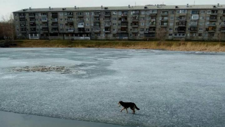 Тюменцы бросились в ледяную воду, чтобы спасти тонущую собаку на пруду Утином